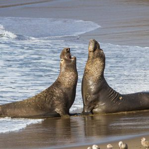 Two Elephant Seal Bulls Fighting for Mating Rights