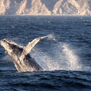 Breaching Whale, Photo Credit, Chad King, NOAA/MBNM