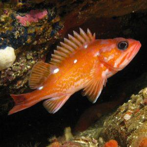 Rockfish, Photo Credit, Janna Nichols