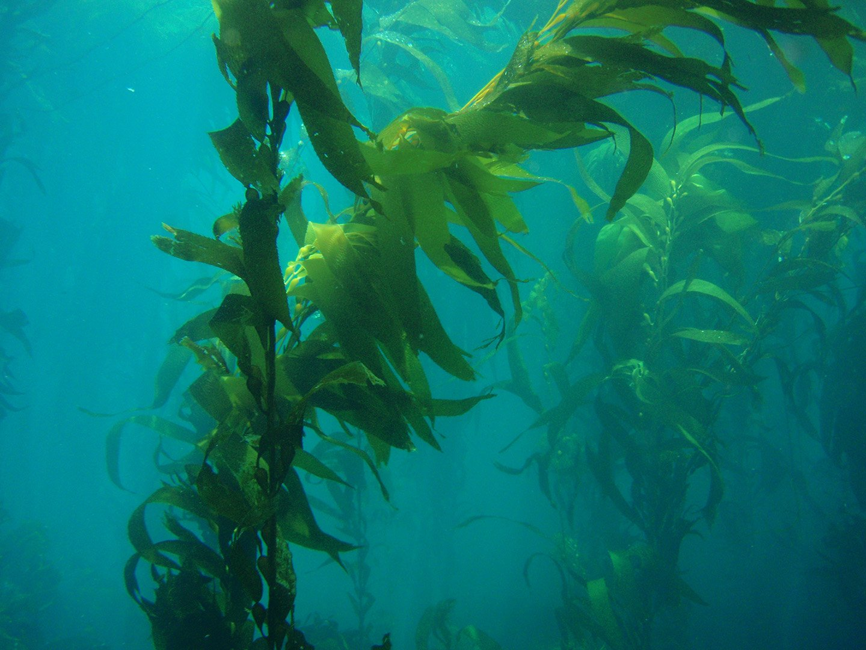 sea kelp photo credit NOAA