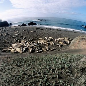 Chuck Graham Elephant Seals