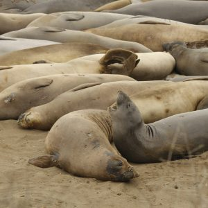 Elephant Seals of San Simeon at the Piedras Blancas Rookery