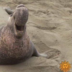 CBS Sunday Morning Elephant Seals