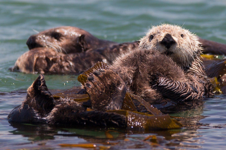 Sea Otters in San Simeon