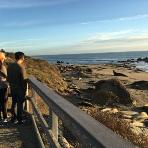Elephant seals of Piedras Blancas