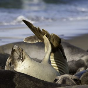 Elephant Seal Pup in San Simeon, CA