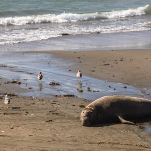 Elephant Seal on the beach, San Simeon, CA