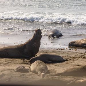Galumphing elephant seals in San Simeon, CA