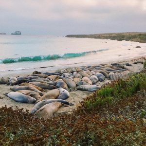 Elephant seals on the beach in San Simeon, CA