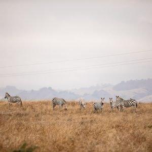 zebras Kiana Cooper