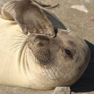 Elephant seal Lauren Ralston