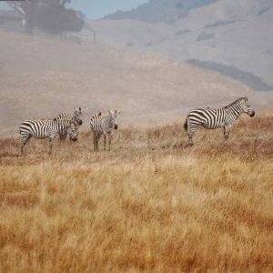 zebras - Lauren Ralston