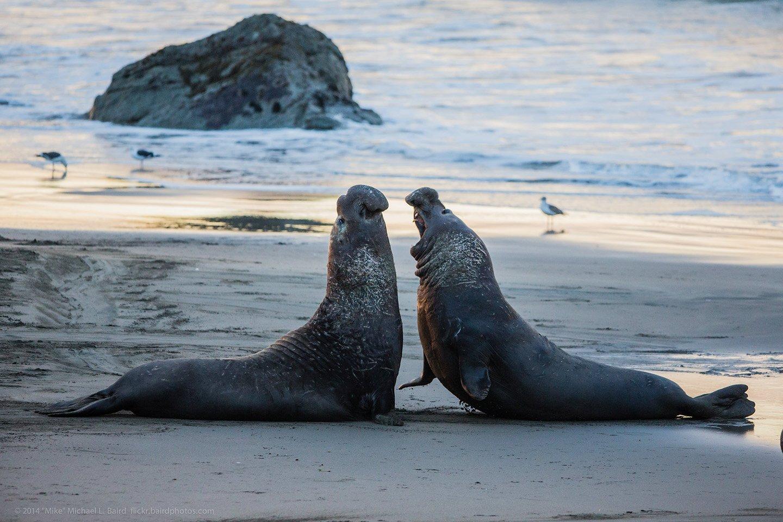 Elephant Seals of San Simeon