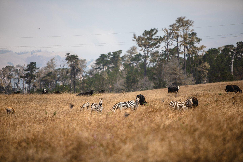 Zebras at Hearst Castle